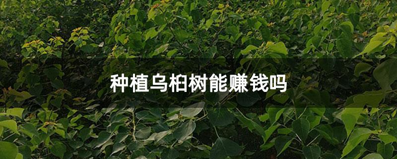 种植乌桕树能赚钱吗