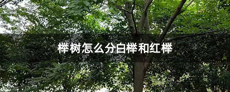 榉树怎么分白榉和红榉
