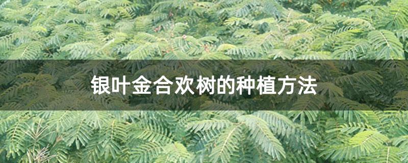 银叶金合欢树的种植方法