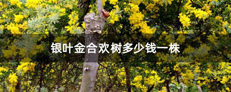银叶金合欢树多少钱一株