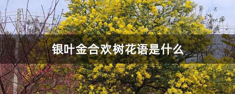 银叶金合欢树花语是什么