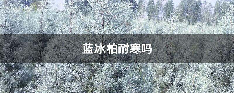蓝冰柏耐寒吗