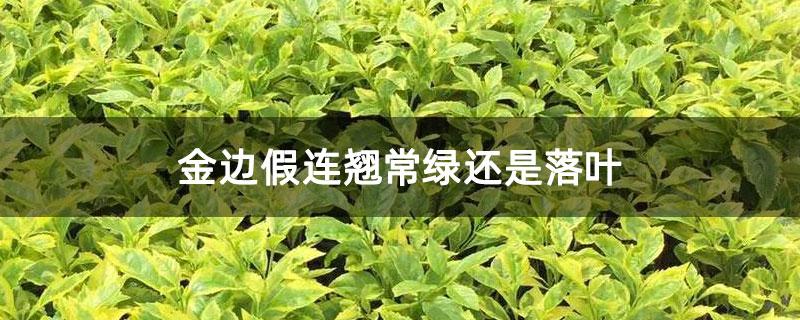 金边假连翘常绿还是落叶