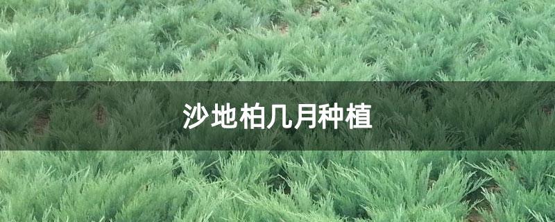 沙地柏几月种植