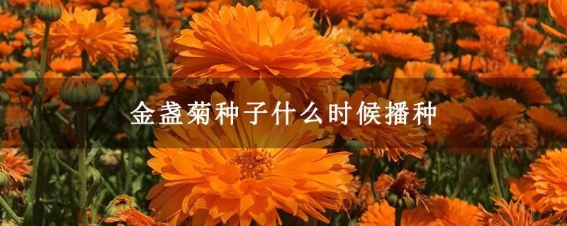 金盏菊种子什么时候播种