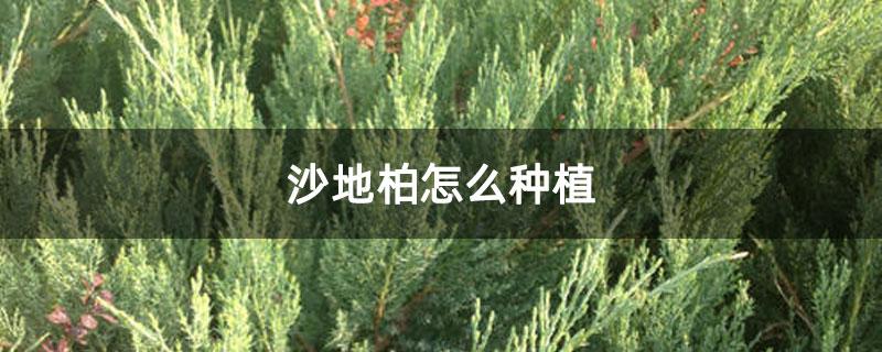 沙地柏怎么种植