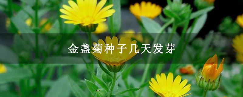 金盏菊种子几天发芽