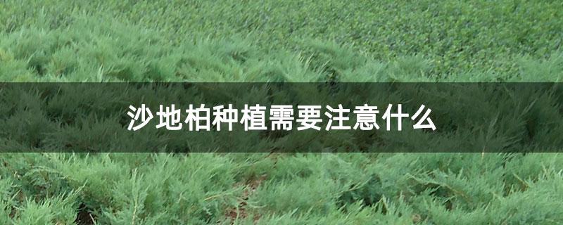 沙地柏种植需要注意什么