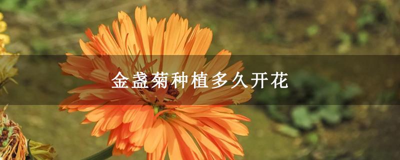 金盏菊种植多久开花