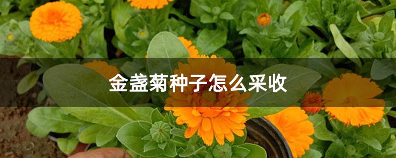 金盏菊种子怎么采收
