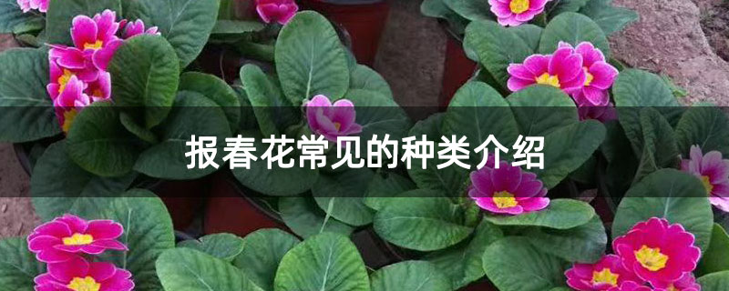 报春花常见的种类介绍