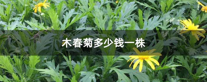 木春菊多少钱一株