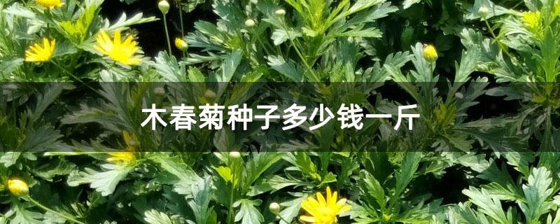木春菊种子怎么种