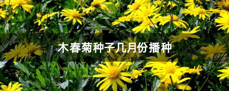 木春菊种子几月份播种