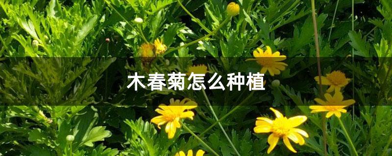 木春菊怎么种植