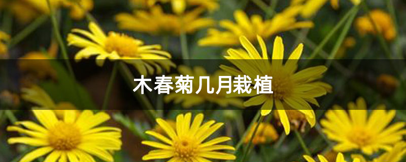 木春菊几月栽植