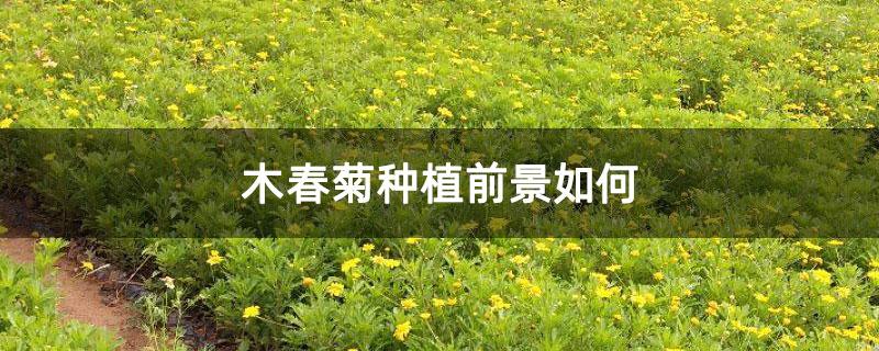 木春菊种植前景如何