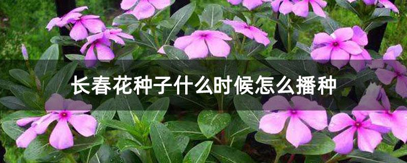 长春花种子什么时候怎么播种