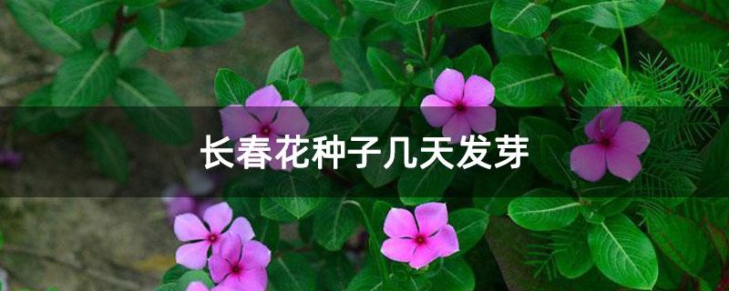 长春花种子几天发芽