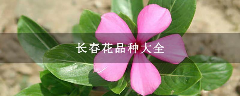 长春花品种大全