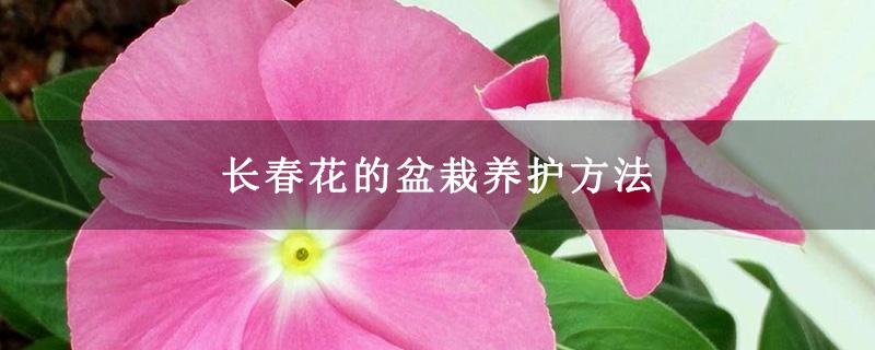 长春花的盆栽养护方法