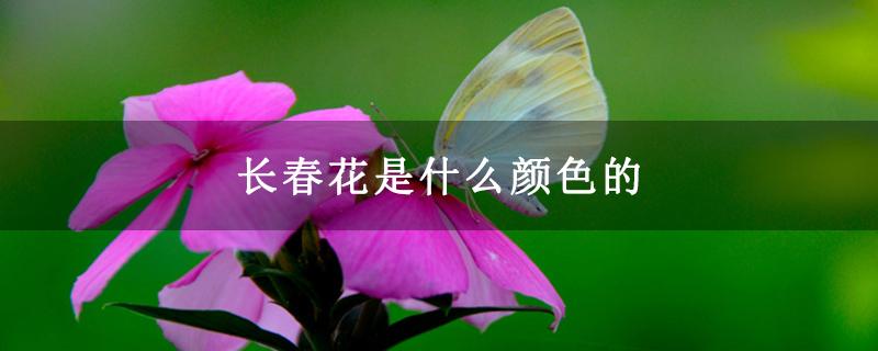长春花是什么颜色的