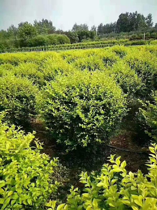 2021年的正确打开方式,这家苗圃值得你学习——访徐州意通苗木场