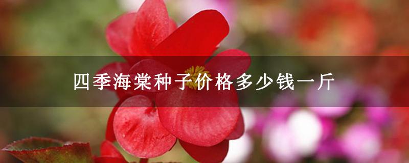 四季海棠种子价格多少钱一斤