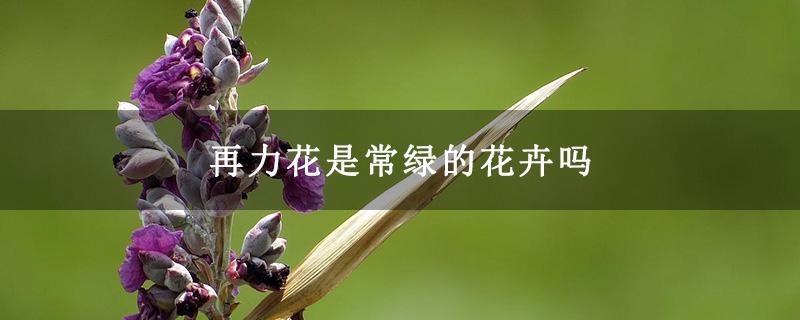再力花是常绿的花卉吗