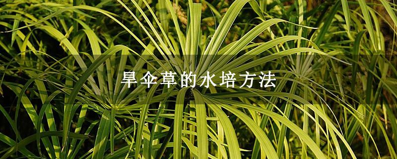 旱伞草的水培方法