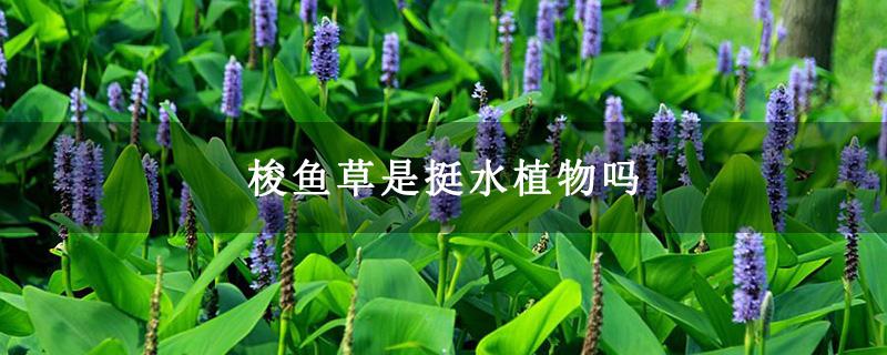 梭鱼草是挺水植物吗