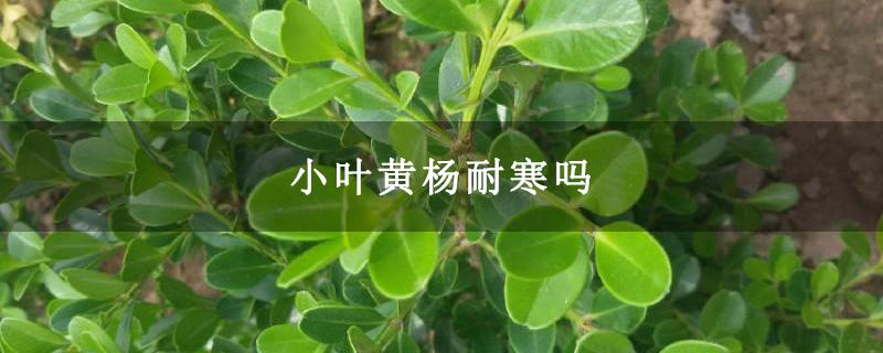 小叶黄杨耐寒吗
