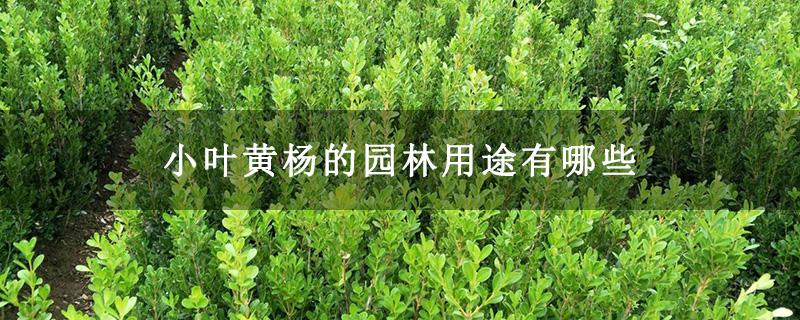 小叶黄杨的园林用途有哪些