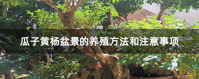 瓜子黄杨盆景的养殖方法和注意事项