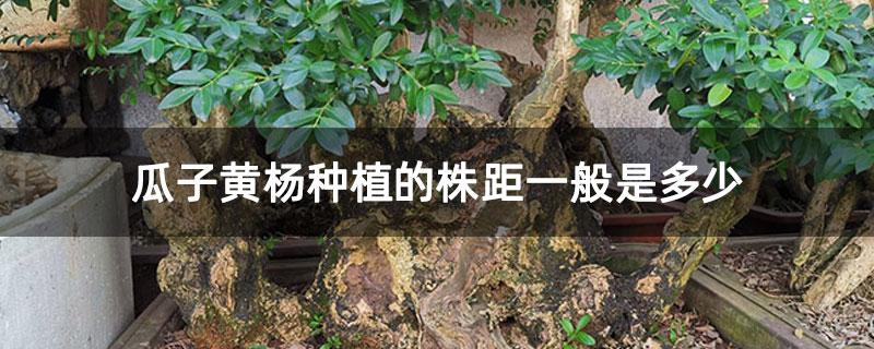 瓜子黄杨种植的株距一般是多少