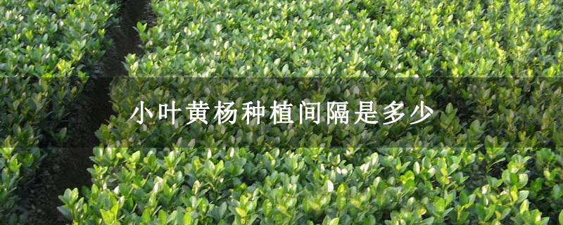 小叶黄杨种植间隔是多少