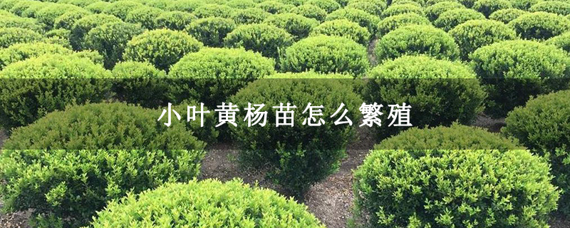 小叶黄杨苗怎么繁殖
