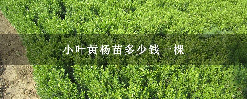 小叶黄杨苗多少钱一棵