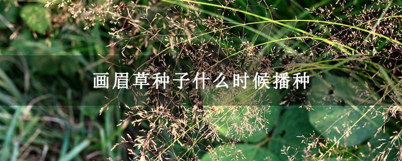 画眉草种子什么时候播种