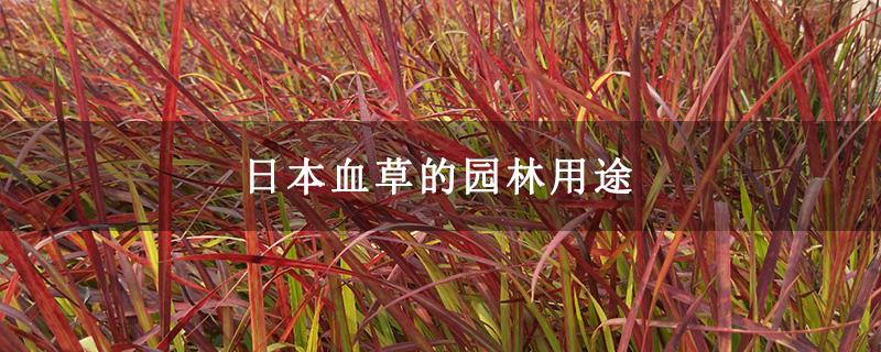 日本血草的园林用途