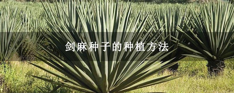 剑麻种子的种植方法