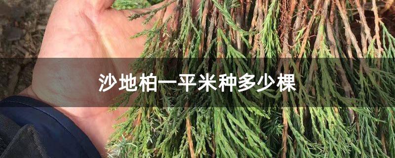 沙地柏一平米种多少棵
