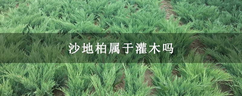 沙地柏属于灌木吗