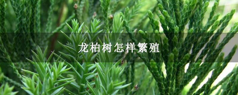 龙柏树怎样繁殖