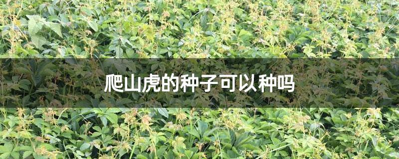 爬山虎的种子可以种吗