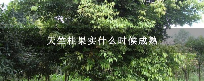 天竺桂果实什么时候成熟