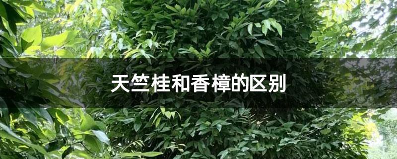 天竺桂和香樟的区别