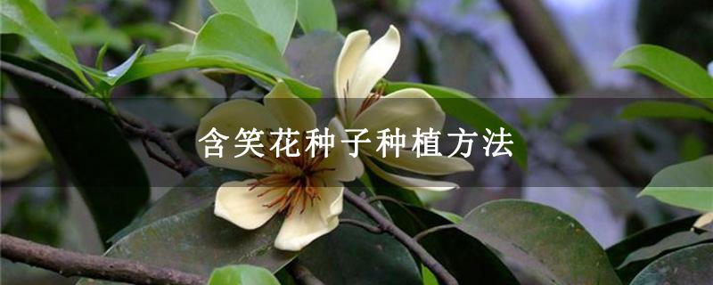 含笑花种子种植方法