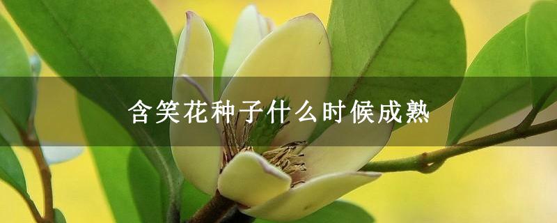 含笑花种子什么时候成熟