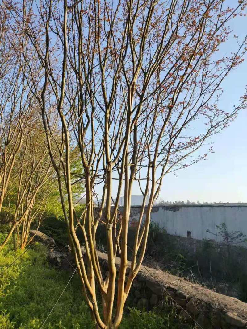 高1米1.5米丛生紫薇价格 基地批发